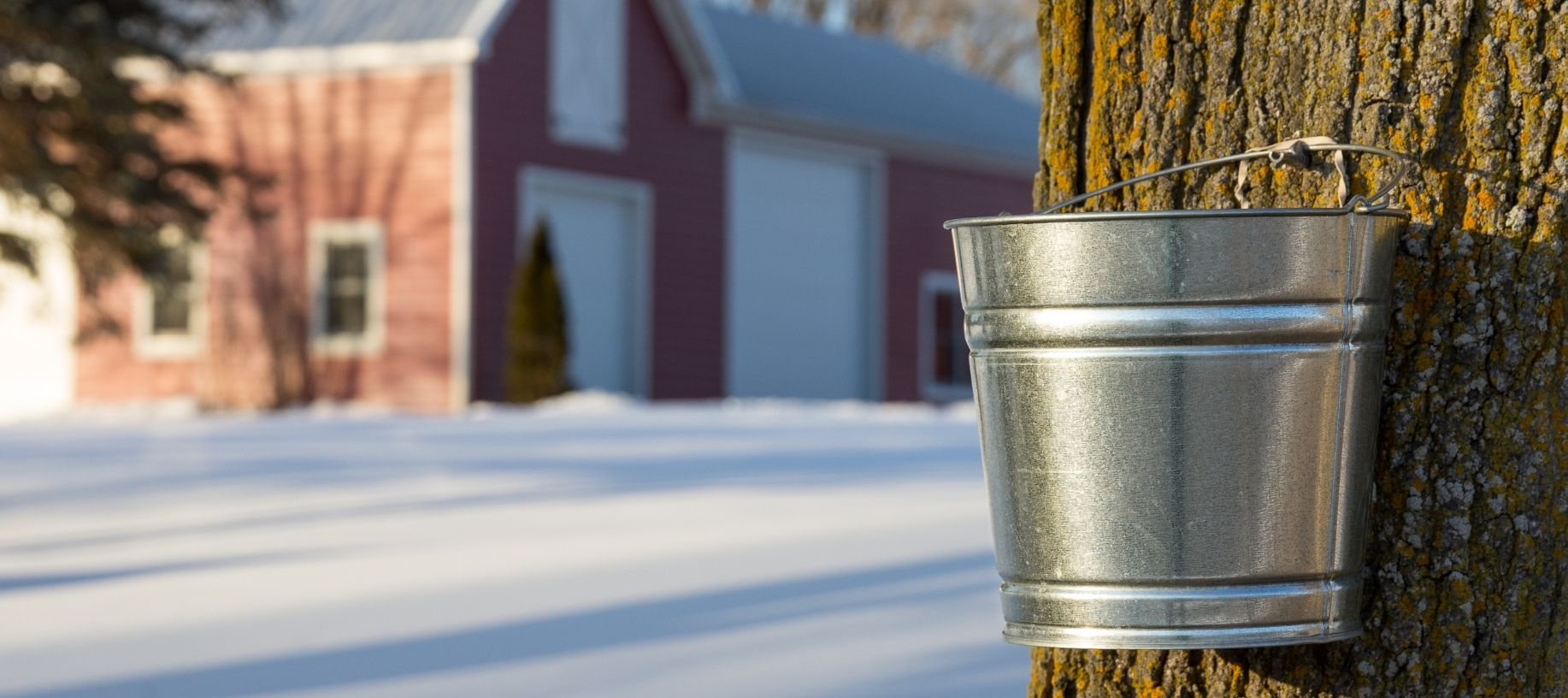 Tin pail collecting maple syrup from a maple tree with red barn in the background