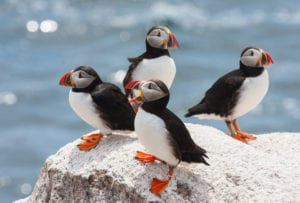 black and white puffins with orange feet and colorfully striped beaks sitting on a rock