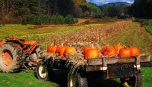 Field of tractor trailer full of pumpkins surrounded by grassy lawn, hay, and distant trees
