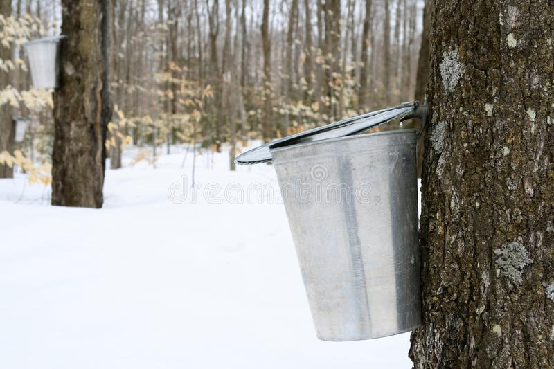 galvanized pail attached to tap on maple tree collecting sap.